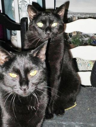 Gladys, jolie chatte noire, Aidofélins Maisons-Laffitte (78) - Page 2 Gladys11