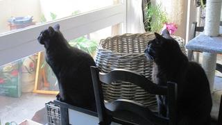 Gladys, jolie chatte noire, Aidofélins Maisons-Laffitte (78) - Page 2 Gladys12