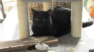 Gladys, jolie chatte noire, Aidofélins Maisons-Laffitte (78) - Page 2 Gladys13