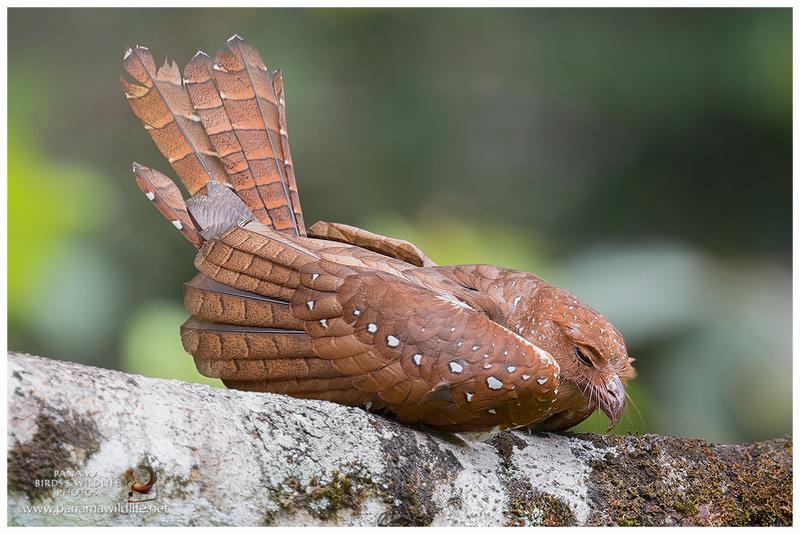 oiseau de Martine 27/11/17 trouvé par Jov Guacha10