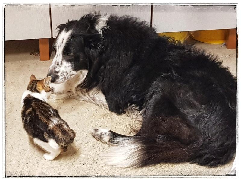 Olga, femelle type européenne tigrée noire et blanche née le 20 septemebre 2018 20181110