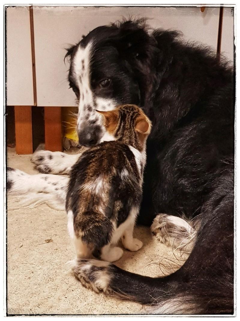 Olga, femelle type européenne tigrée noire et blanche née le 20 septemebre 2018 20181112