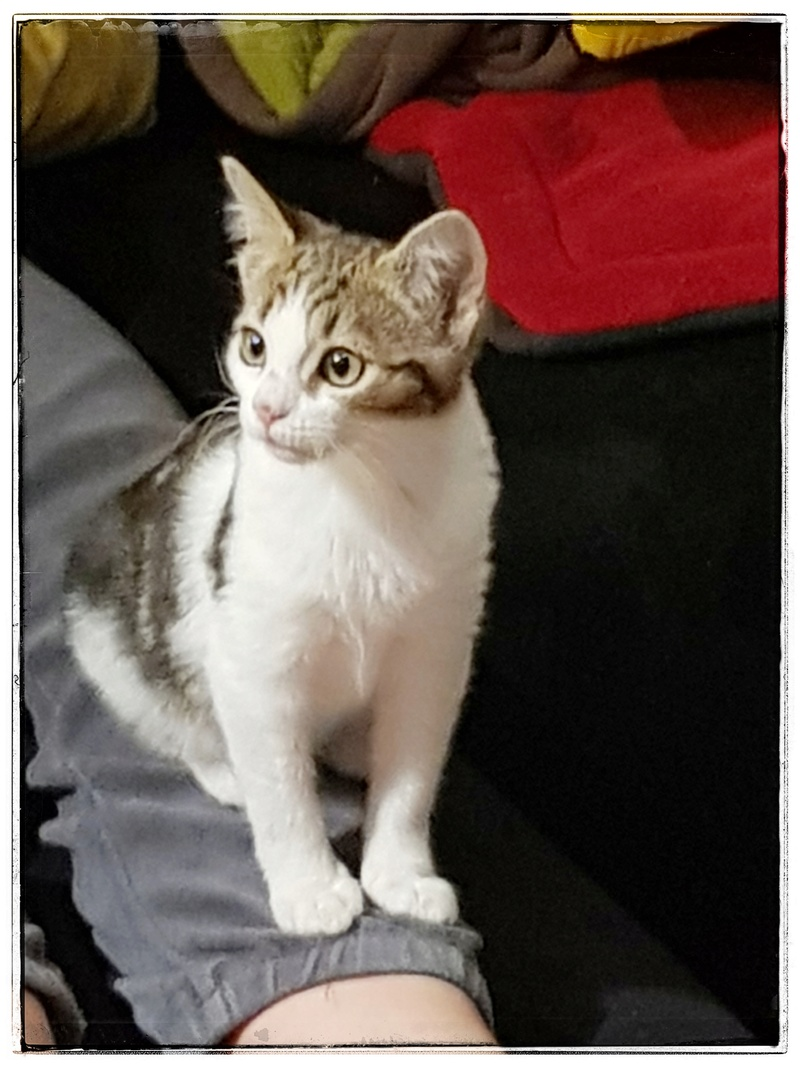 Olga, femelle type européenne tigrée noire et blanche née le 20 septemebre 2018 20181214