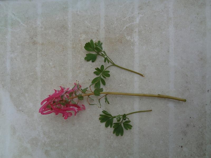 identifier petite plante à fleurs rose Dsc00110