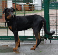 Zeus, male beauceron né en sept 2014 Zeus-r10