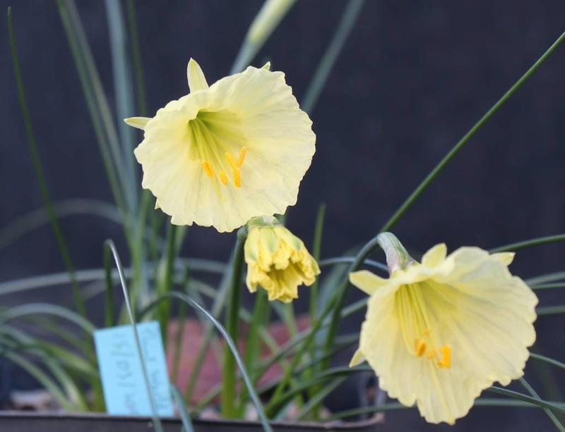Narcisse 2018 & 2019 Narcis10