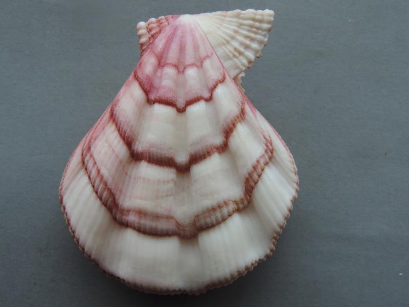 Swiftopecten swiftii - (Bernardi, 1858) Dscn9313