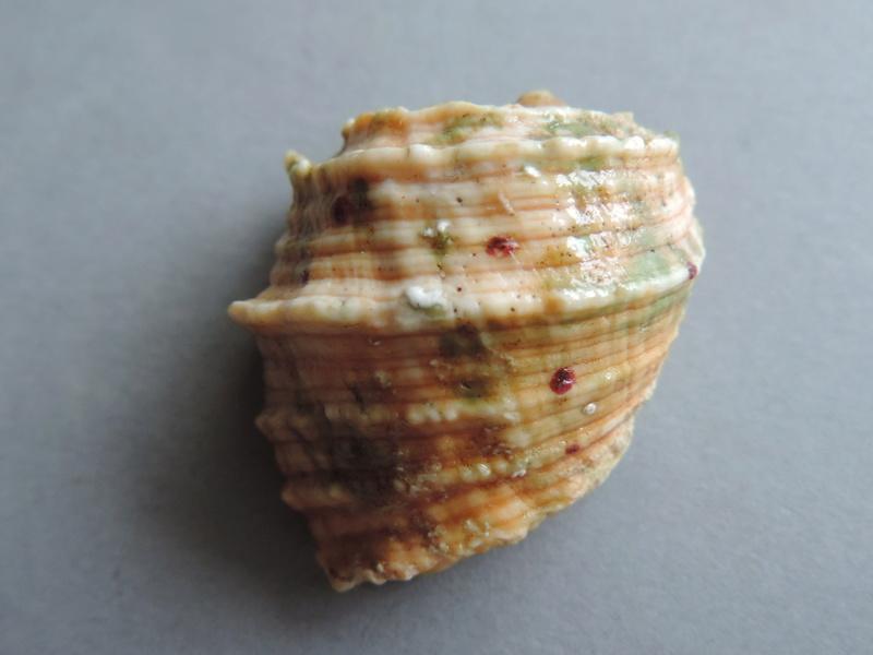 Tribulus planospira - (Lamarck, 1822) Dscn9326