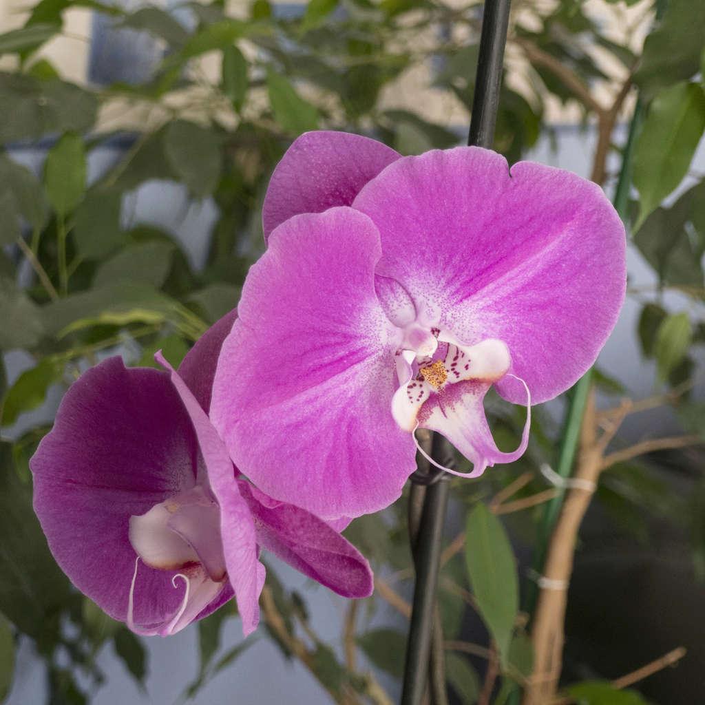 Orchidée Orchid10