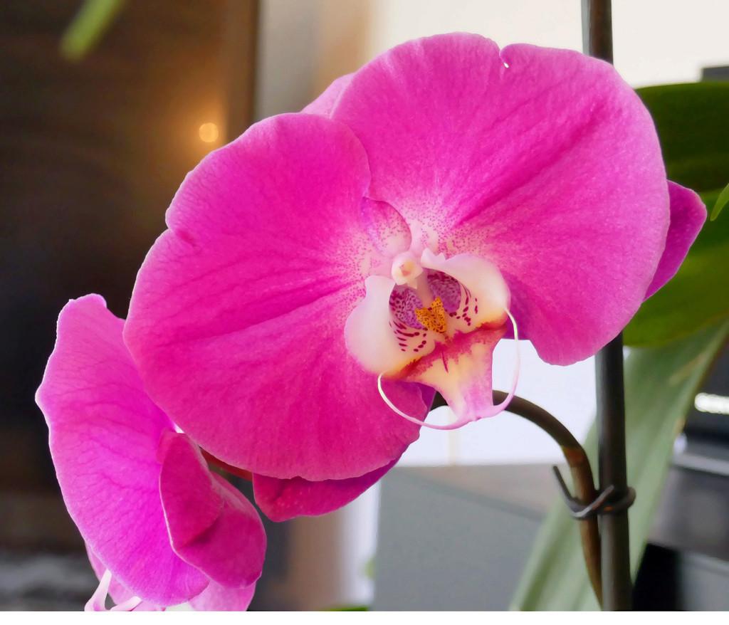 Orchidée Orquid11