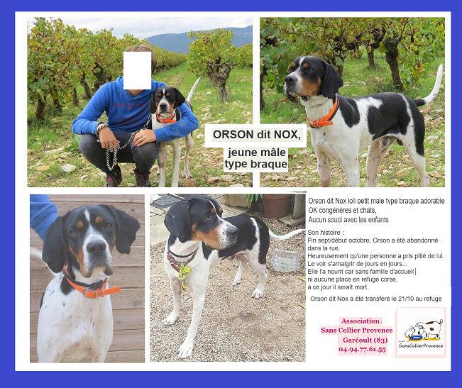 ORSON,  dit Noxx  mâle  braque tricolore 16 mois d' asso SOS Décharge, Corse   - Refuge Sans Collier Provence à Gareoult (83) - Deutschland Captur16