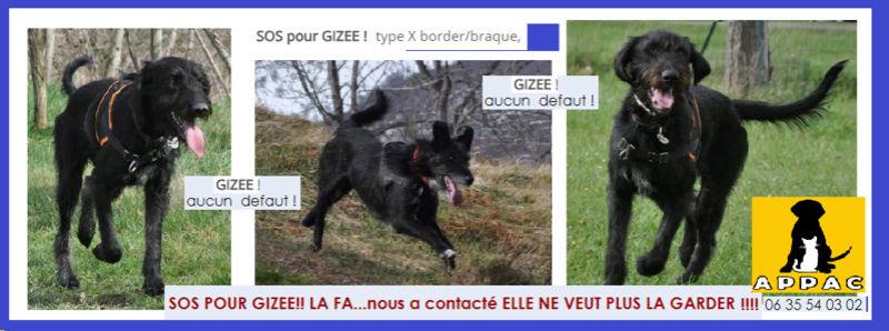 GIZEE -   Border/Braque d'apparence griffon noir 1 an  -Asso Appac09 Ds11