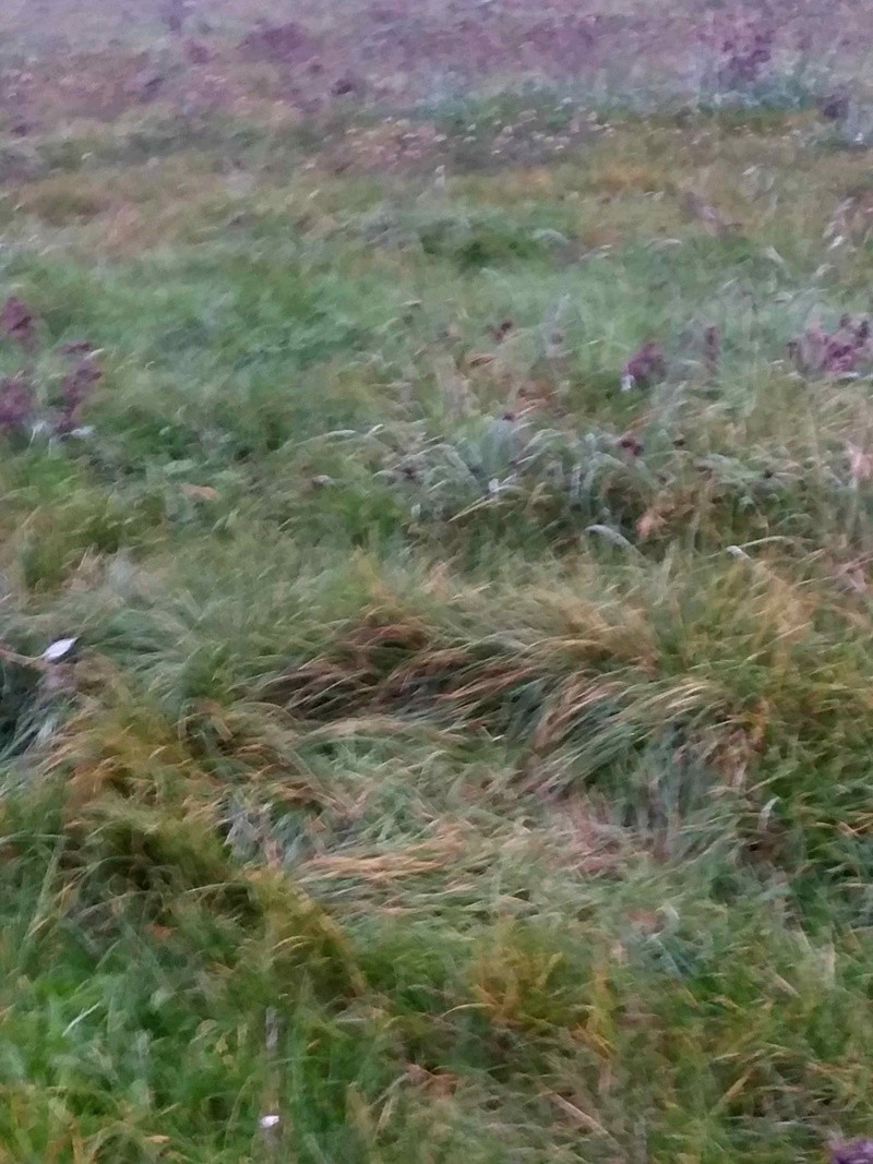 traces dans les herbes et fientes 20171117