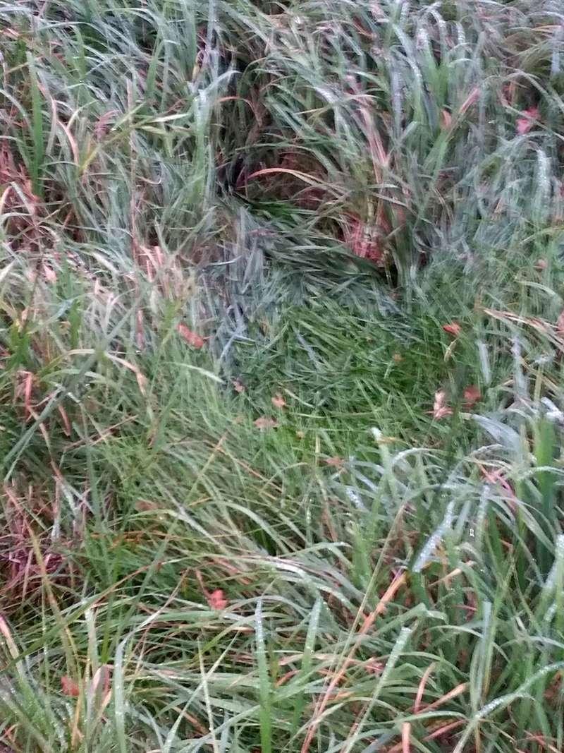 traces dans les herbes et fientes 20171118