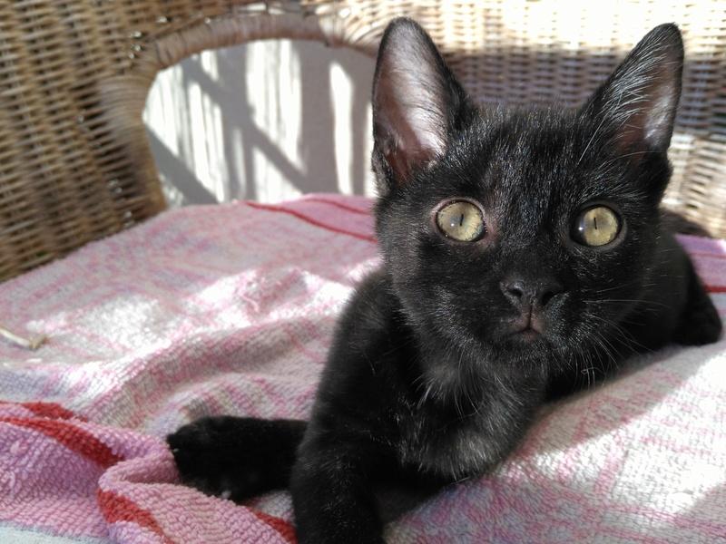 Muffin, magnifique chaton noir, né le 09/07/2016 Img_2010