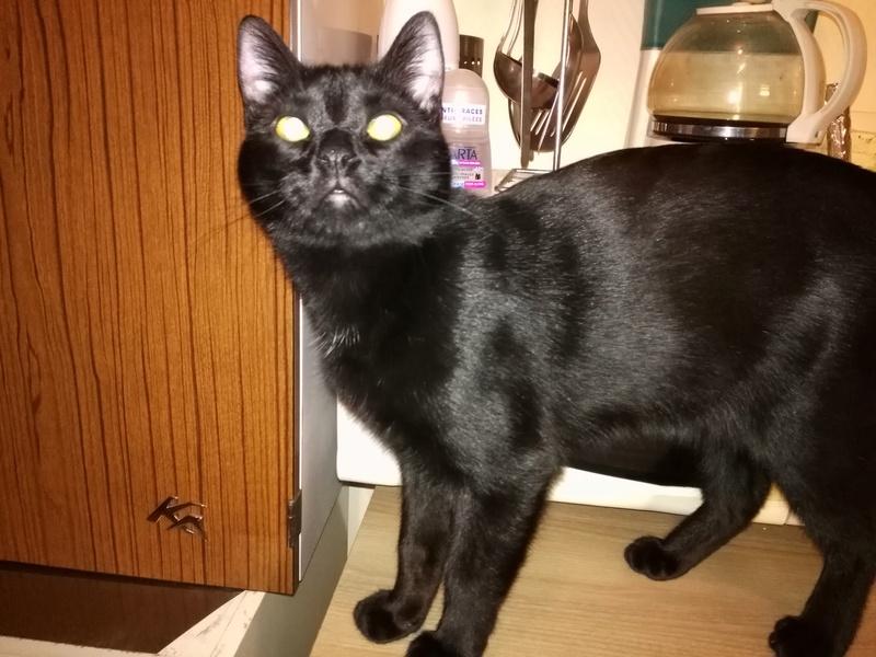 Muffin, magnifique chaton noir, né le 09/07/2016 Img_2014