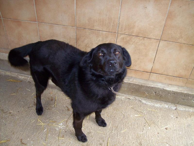 FLASH (refuge de Backa) mâle  type labradorné en 2009 adopté par Claire en 2016 102_0010
