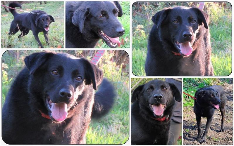 FLASH (refuge de Backa) mâle  type labradorné en 2009 adopté par Claire en 2016 10391510