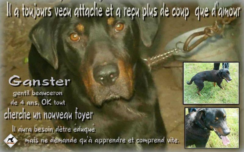 BAXTER ( Gangster) Mâle croisé Beauceron né en 2011. Adopté par Pierre en Juin 2016 10676310