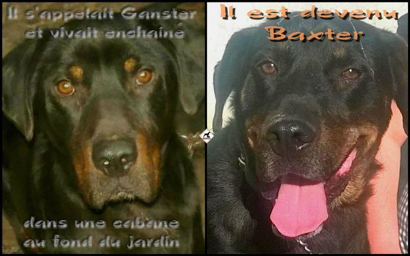 BAXTER ( Gangster) Mâle croisé Beauceron né en 2011. Adopté par Pierre en Juin 2016 10696410