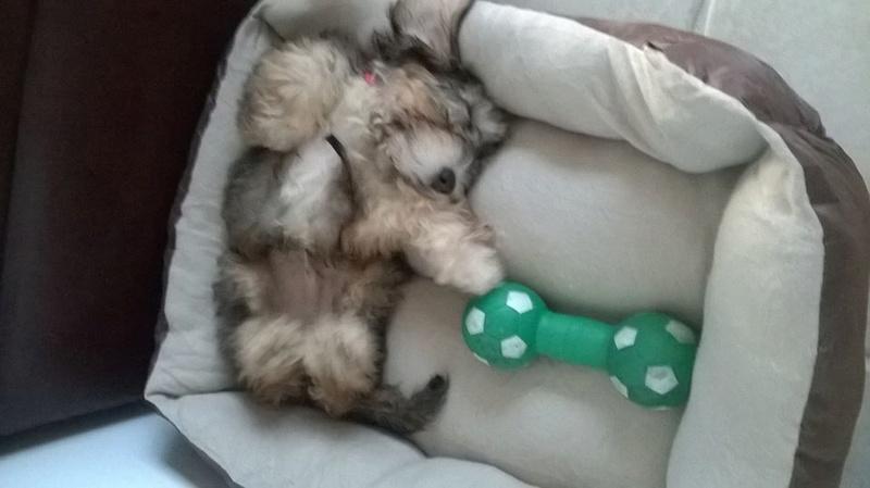 LOUPIOT (bébé d'Elsa) mâle croisé griffon né le 20 01 2015. Adopté par ludivine en 05/2018 11223810