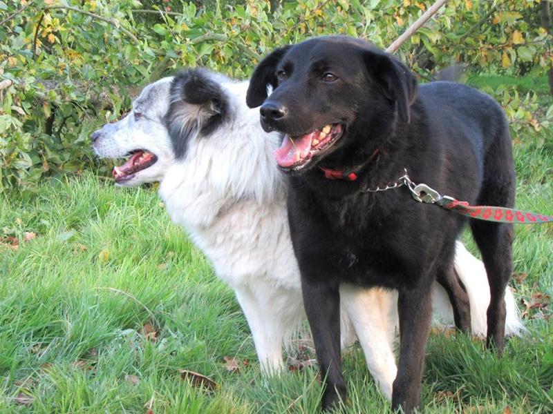 FLASH (refuge de Backa) mâle  type labradorné en 2009 adopté par Claire en 2016 11230211