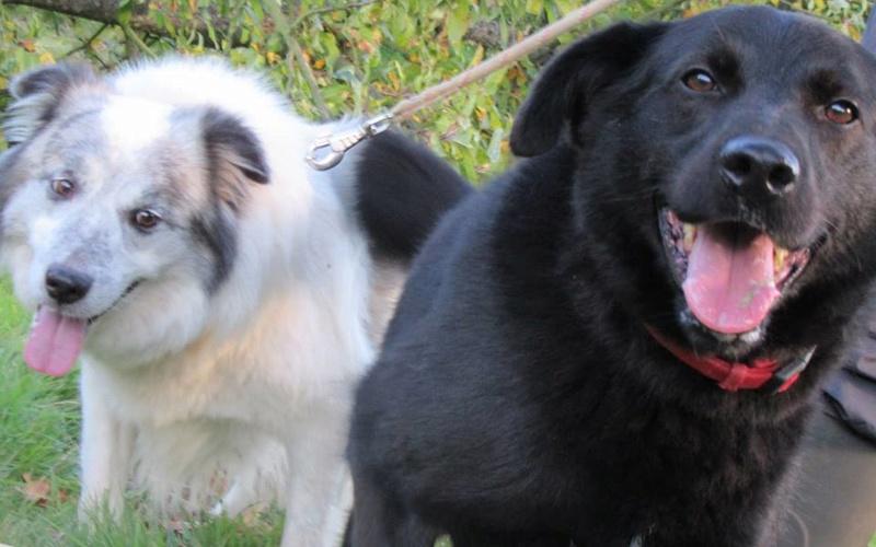 FLASH (refuge de Backa) mâle  type labradorné en 2009 adopté par Claire en 2016 12188910