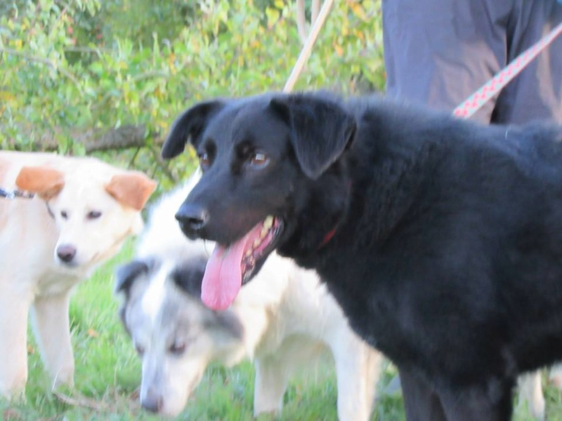 FLASH (refuge de Backa) mâle  type labradorné en 2009 adopté par Claire en 2016 12195810