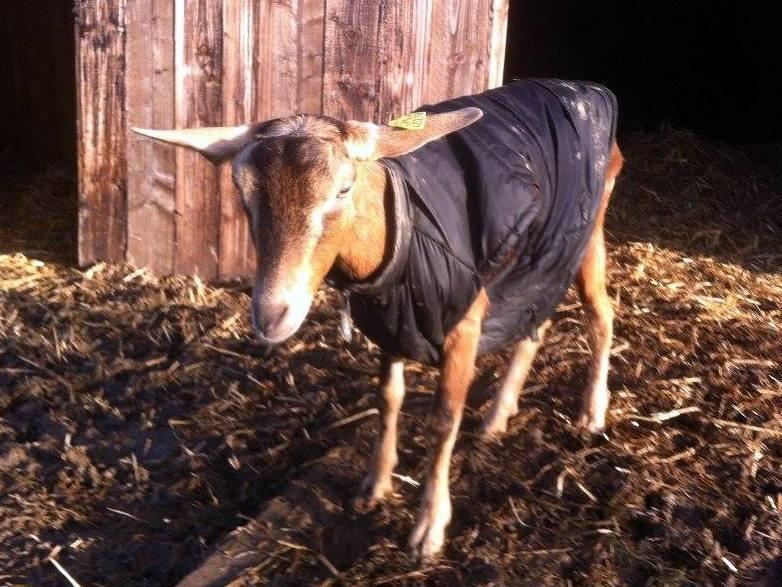 RIP DJALI, chèvre Alpine réformée d'élevage, adoptée en Mai 2016 par Noemie. Partie le 10 Janvier 2018 12936710