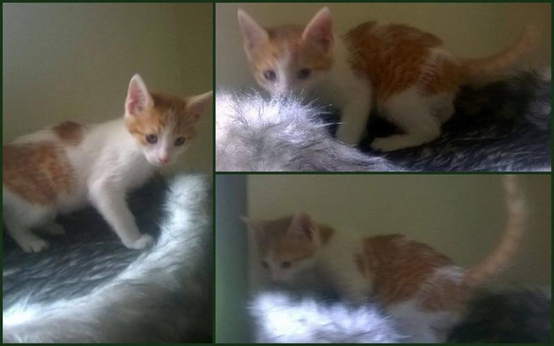 Repose en Paix MALABAR chaton Roux et blanc né en février 2016 adopté le 7 Mai 2016, décédé le 14 Mai 2016  13124610