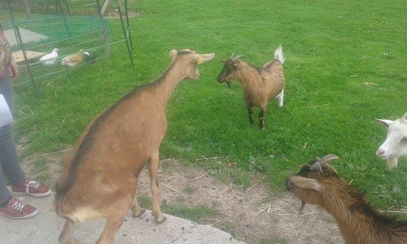 RIP DJALI, chèvre Alpine réformée d'élevage, adoptée en Mai 2016 par Noemie. Partie le 10 Janvier 2018 13230010