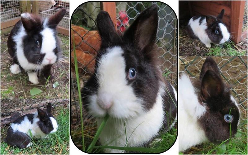 Chevreaux, poules, lapins.... 13432110