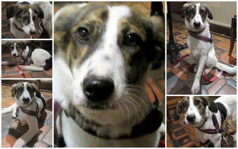 SOON (Orastie)  chien de race croisée né en 2015. Amputé d'une patte avant. Adopté par Séverine et Christophe en Aout 2016 13840710