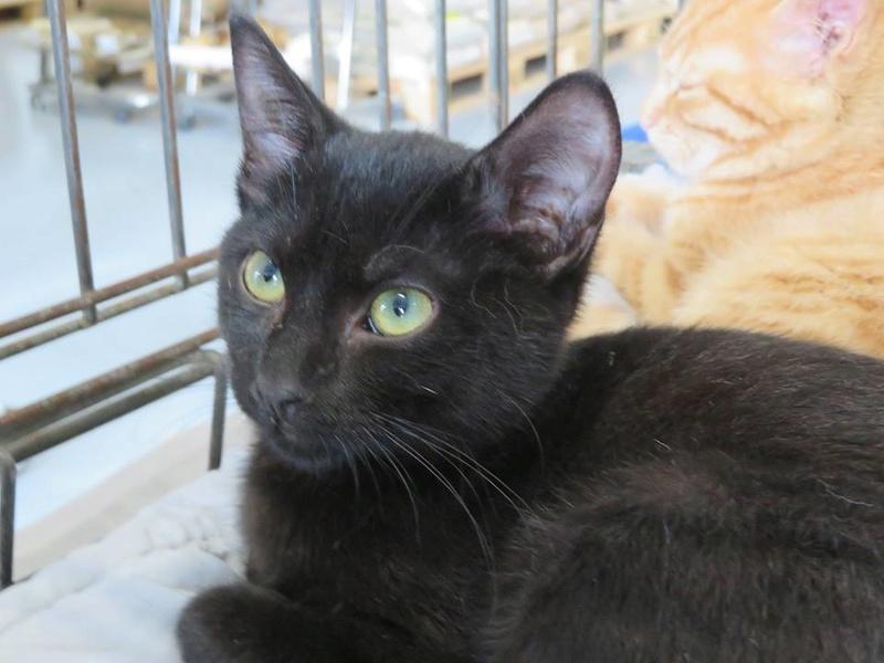 MIA, devenue NYMERIA chat femelle noire Née fin mai 2016 adoptée en Novembre 2016 par Esthel 14264011