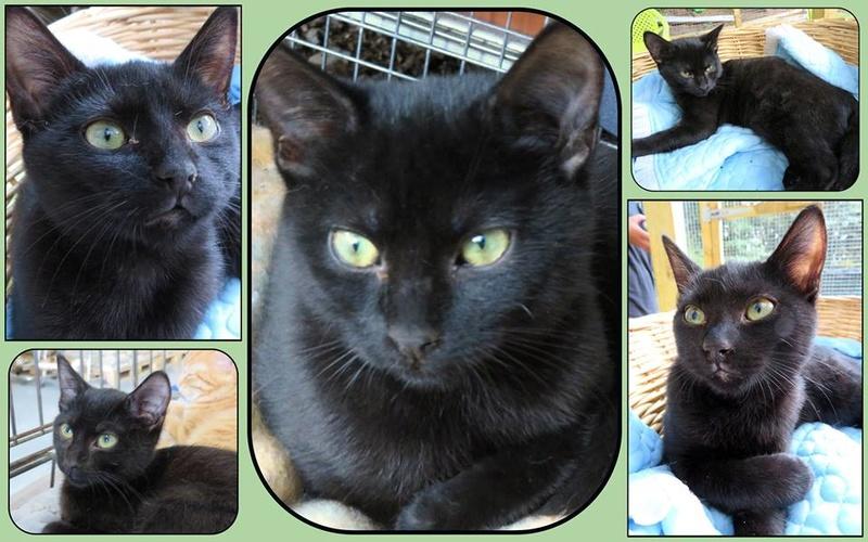 MIA, devenue NYMERIA chat femelle noire Née fin mai 2016 adoptée en Novembre 2016 par Esthel 14492410