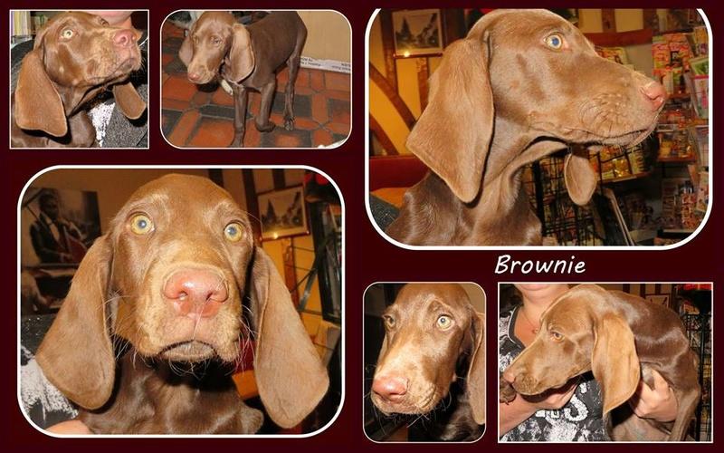 BROWNIE (refuge de Sitia) Femelle type braque née le 10 07 2016. adoptée en Octobre 2016  par Victoria 14591810