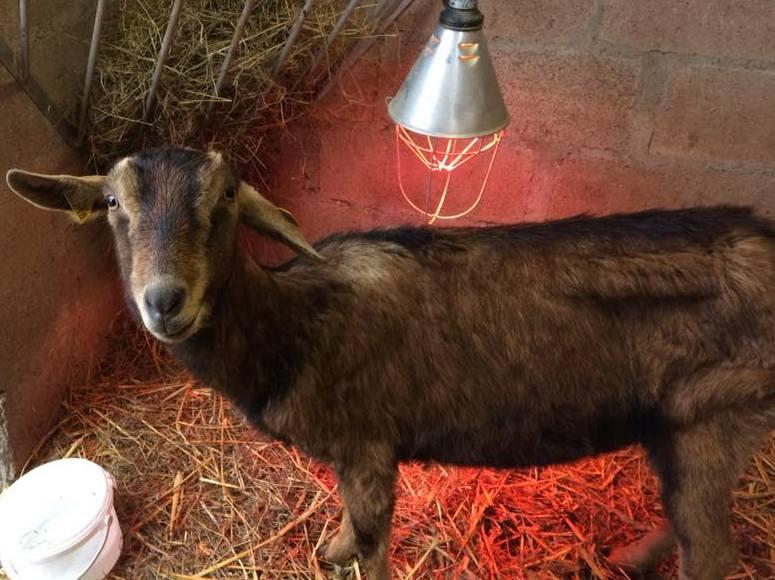 RIP DJALI, chèvre Alpine réformée d'élevage, adoptée en Mai 2016 par Noemie. Partie le 10 Janvier 2018 26196314