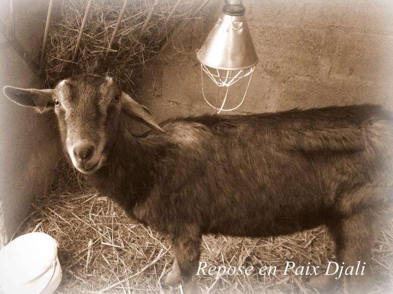 RIP DJALI, chèvre Alpine réformée d'élevage, adoptée en Mai 2016 par Noemie. Partie le 10 Janvier 2018 26220013