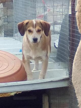 MARCO ( ex chien n°13 refuge de Sitia) mâle croisé né le 25/08/2017   Non adoptable trop craintif  26857215