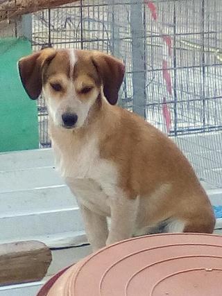 MARCO ( ex chien n°13 refuge de Sitia) mâle croisé né le 25/08/2017   Non adoptable trop craintif  26940315