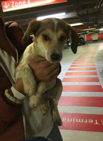MARCO ( ex chien n°13 refuge de Sitia) mâle croisé né le 25/08/2017   Non adoptable trop craintif  27591711