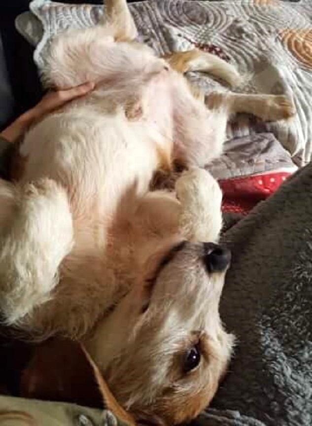 SKY mâle croisé Beagle/Fox né en 2010. Adopté par Pauline le 4 Fevrier 2018 27658913