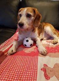 SKY mâle croisé Beagle/Fox né en 2010. Adopté par Pauline le 4 Fevrier 2018 27661910