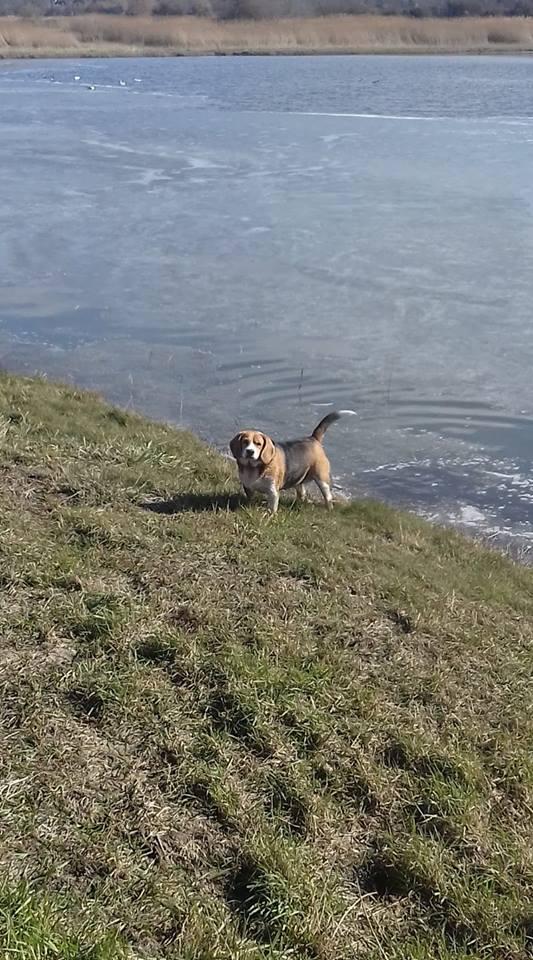 EMMY. Femelle type Beagle née en 2009. En panier retraite chez Patricia depuis Mai 2017.Recherche parrains/Marraines recherchés. 28379710