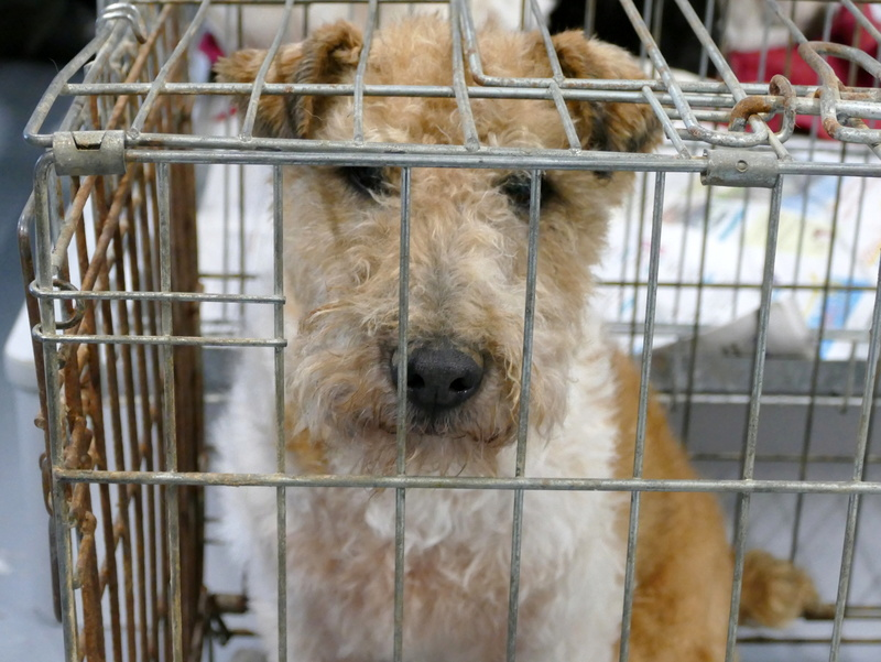 SIRIUS. Mâle fox terrier né en 2007. Adopté en 10/2018  710