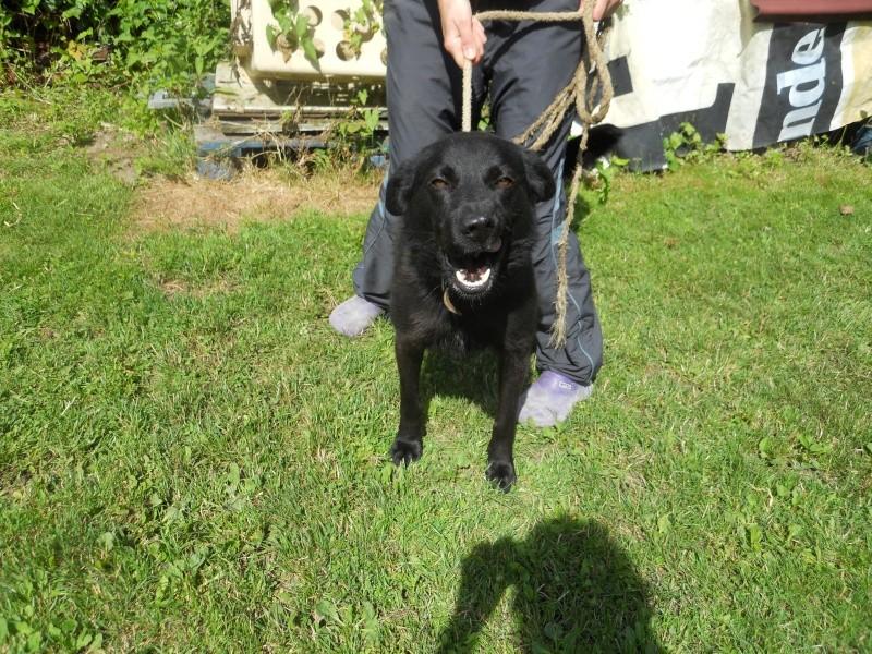 FLASH (refuge de Backa) mâle  type labradorné en 2009 adopté par Claire en 2016 Dscn7310