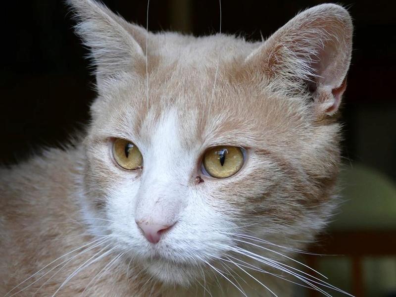 TIGROU  chat MALE ROUX et BLANC né en 2012 (sauvetage de Grandcamp-Maisy) En panier retraite Juille11