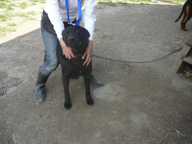 FLASH (refuge de Backa) mâle  type labradorné en 2009 adopté par Claire en 2016 P1020210