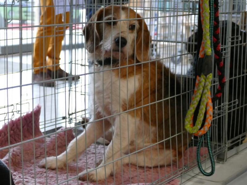 SKY mâle croisé Beagle/Fox né en 2010. Adopté par Pauline le 4 Fevrier 2018 P1150816