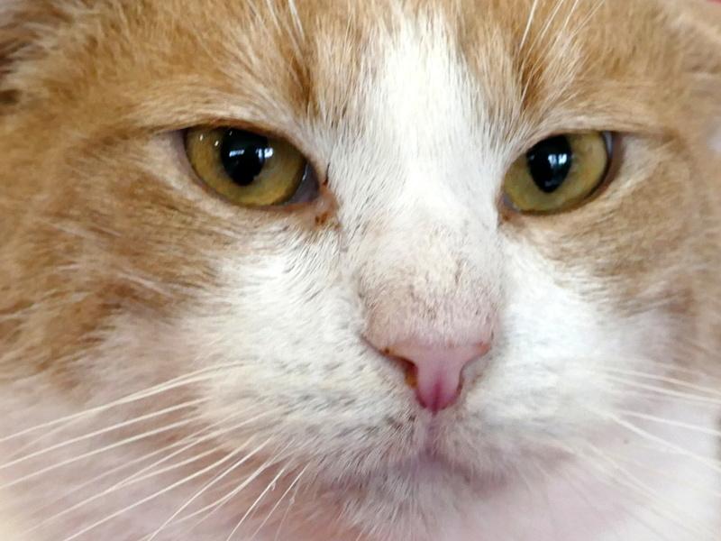 TIGROU  chat MALE ROUX et BLANC né en 2012 (sauvetage de Grandcamp-Maisy) En panier retraite P1160123